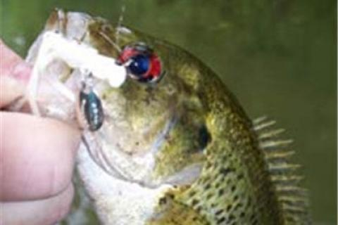 News & Tips: Goggle-Eye or Rock Bass Fishing Tactics...