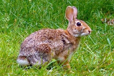 News & Tips: Rabbits Offer Great Late Hunting Opportunities...