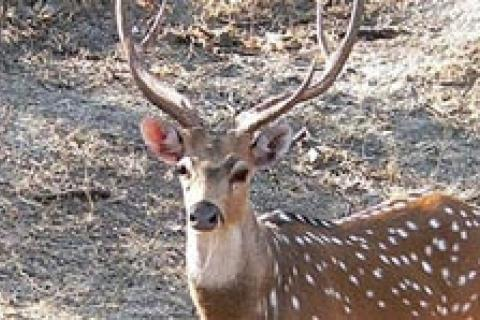 News & Tips: Axis Deer: King of the Exotics