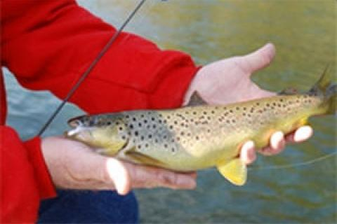 News & Tips: Brown Trout Facts