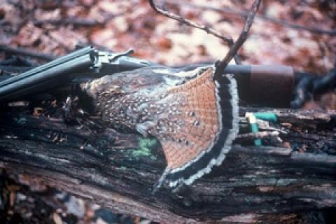 News & Tips: Best Time for Ruffed Grouse Hunting is Now...