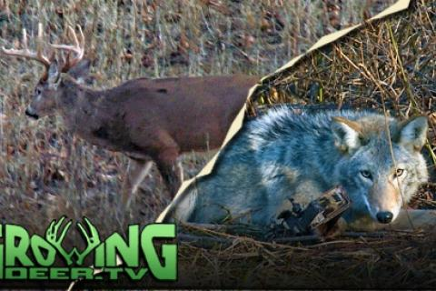 News & Tips: Hunting Whitetails & Trapping Coyotes: How To Make A Flat Set  (video)...