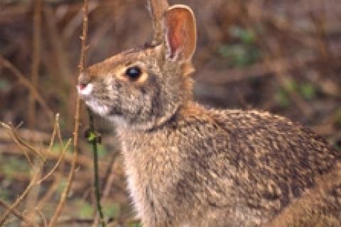 Rabbit Hunting 101   Bass Pro Shops