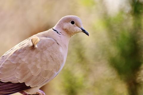 News & Tips: 6 Common Reasons Dove Hunters Miss