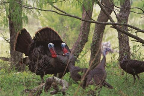 News & Tips: Turkey Behavior, How to Fool a Subordinate Gobbler...