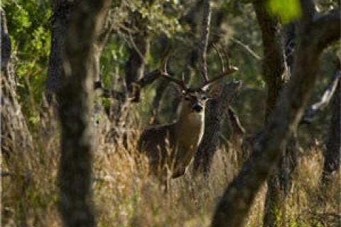 News & Tips: Think You're an Expert at Rattling Whitetails? Take This Quiz and See!...