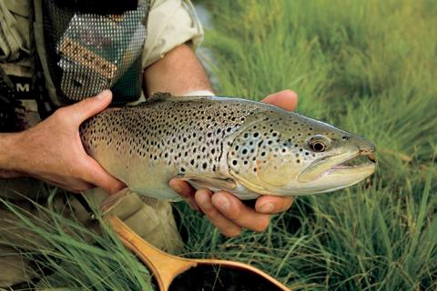 News & Tips: Fly Fishing for Brown Trout This Summer? Go With the Hopper...