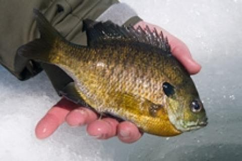 News & Tips: Late Ice Panfish Bonanza in Bays