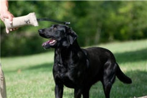 News & Tips: Preseason Retriever Conditioning Tips