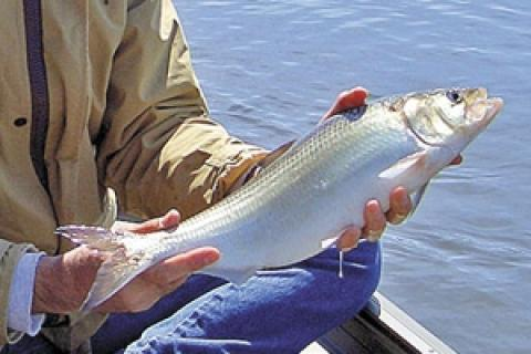 News & Tips: Spring Shad Run a Palmetto Ritual