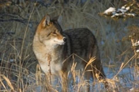 News & Tips: How to Hunt the Coy Coyote