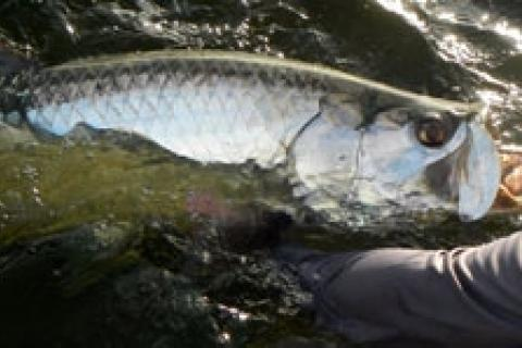 News & Tips: Travel Blog: Tips For Light Tackle Tarpon Travel...