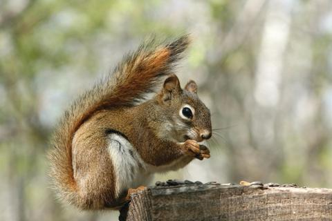 News & Tips: Bushytail Basics & Squirrel Hunting Tips...