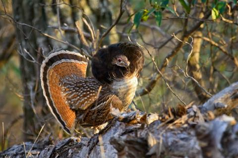 Upland Bird: Copyright Denver Bryan/Images on the Wildside 2016...