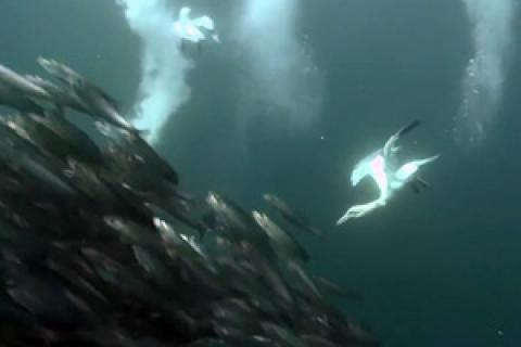 News & Tips: Forage Fish: Anchovies Aren't Just for Pizza (video)...