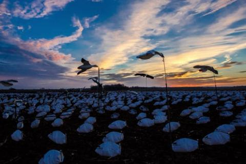 News & Tips: Guide to Snow Goose Spreads