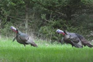 Scouting for Turkey Tips | Cabela's Turkey Roost