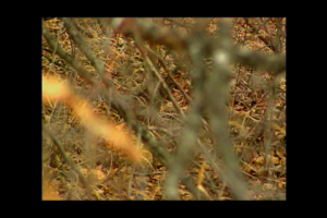 1Source Video: How to Bring Back the Bobwhite Quail