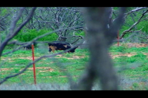 1Source Video: Wild Hog & Texas Turkey Hunt