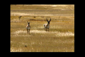 1Source Video: Interesting Facts About the Pronghorn