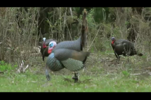 1Source Video: Calling Basics Every Turkey Hunter Should Know