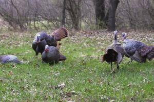 How To Setup Turkey Decoys