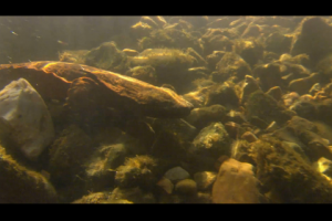 1Source Video: 20 Fun Facts on the Hellbender Salamander