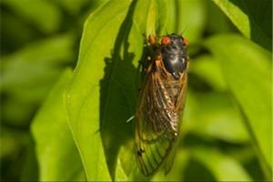 News & Tips: How to Take Advantage of the Topwater Bite During Cicada Season...