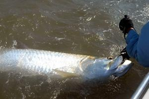 News & Tips: Tagging Tarpon for Conservation in S.C....