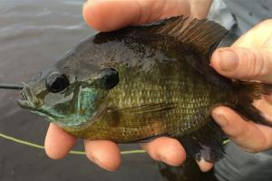 News & Tips: Have Some Fun & Fly Fish for Bluegills, The Seasons, The Patterns, The Presentation...