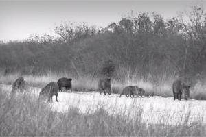 News & Tips: Bow Hunting South Texas | Spot and Stalk | Javelinas and Hogs  (video)...