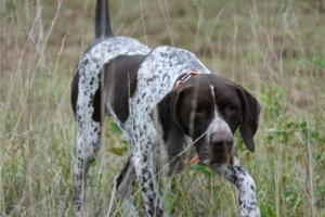 News & Tips: 5 Tips for Training Your Bird Dog in the Off Season...
