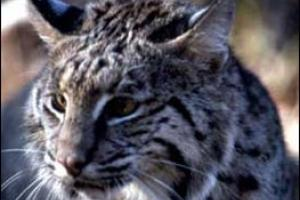 News & Tips: The Ultimate Challenge: Hunting the Elusive Bobcat...