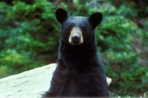 News & Tips: Bear Scents: What to Use and How to Use Them...