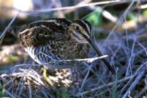 News & Tips: Lessons in Snipe Hunting