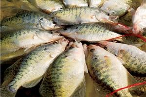 News & Tips: Stacey King's Crappie Spawn Fishing Tips...