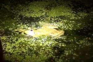News & Tips: Frog Gigging: Hunting Bullfrogs During Summer (video)...