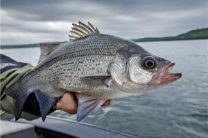 News & Tips: Tips for Catching White Bass