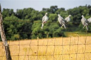 Five doves sitting on a wire fence that surrounds a wheat field