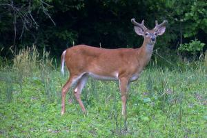 News & Tips: Fawn & Food Plot Robbers and Aging Bucks In Velvet Antlers (video)...