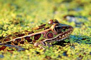 News & Tips: Frog Gigging and the Art of Catching Frogs (video)...