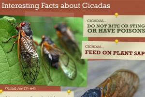 News & Tips: Will Cicadas Affect Your Fishing? (infographic)...