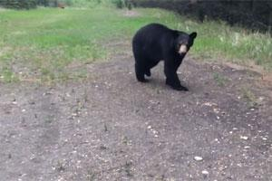 News & Tips: Why You Should Carry Bear Spray: Video Shows Bear Chasing Joggers...
