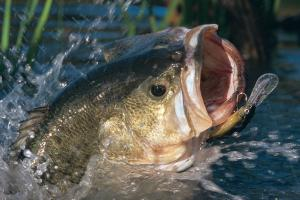 News & Tips: How to Choose Lure Colors Through the Eyes of a Bass...