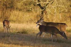News & Tips: Pinpointing the Best Doe Group to Hunt Near During the Rut...