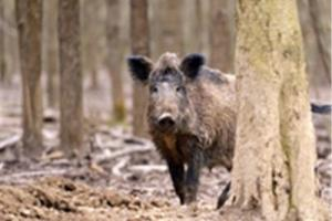 News & Tips: 4 Surefire Signs You Have a Feral Hog Problem...