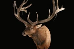 News & Tips: Taxidermy Tips