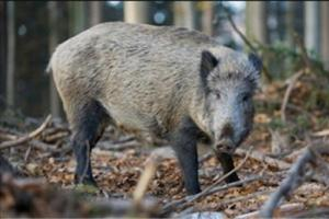 News & Tips: Stay Safe on Your Wild Hog Hunt with These Tips...