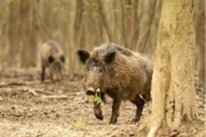 News & Tips: Hogs In The Swamp