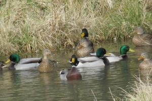 News & Tips: Ponds & Potholes: Taking Advantage of Late Season Duck Magnets...